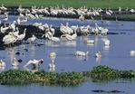 White pelicans, american alligator