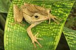 Borneo earred tree frog