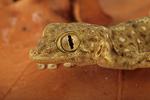 Fanfoot gecko