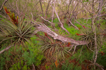 Stiff leaved wild pine
