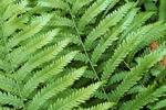 Virginia chain fern