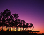 Sand Pine trees at sunset