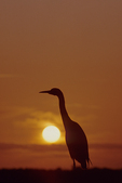Cattle egret and sunset