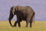 African elephant with flaccid trunk paralysis. (Sequence 2 of 4)