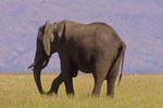 African elephant with flaccid trunk paralysis. (Sequence 1 of 4)