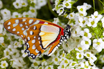 Angola white lady butterfly