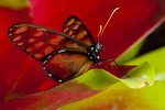 Dero clearwing butterfly on bromeliad