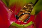 Dero clearwing butterfly