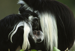 Angolan colobus monkeys, mother with infant.