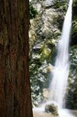 Coast Redwood tree and waterfall