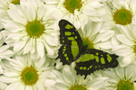 Malachite butterfly daisies