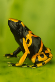 Bumble-bee poison frog