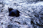 Researcher looking for hellbender salamanders in Little River