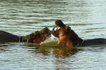 Hippopotamuses fighting