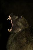 Chacma baboon at night