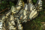 Eastern tiger swallowtail butterflies puddling