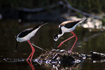 Black-necked stilts at nest with eggs.