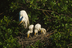 Great Egrets nesting in wax myrtle