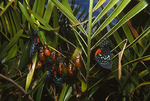 Atala butterfly chrysalises and butterflies on coontie.