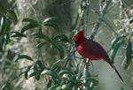 Northern cardinal on oak tree