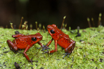 Strawberry poison frogs
