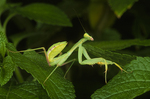Ghanan preying mantis