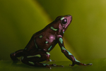 Panama green spotted and bronze poison frog
