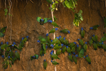 Blue headed parrots at a clay lick