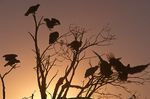 Silhouette of black vultures