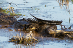 American alligator eating dead brown pelican