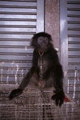 Chained silvered leaf monkey