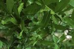 Polyphemus moth caterpillars eating oak leaves