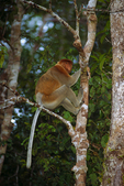 Proboscis monkey, male.