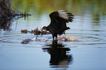 Black vulture eating dead american alligator