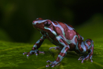 Blue and bronze poison frog
