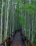 Boadwalk through bald cypress trees at Corkscrew Swamp Sanctuary