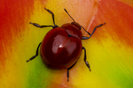 Red valentine beetle