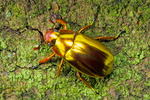 Gold scarab beetle