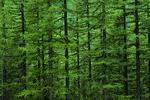 Rocky Mountain douglas fir trees