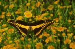 Thoas swallowtail butterfly