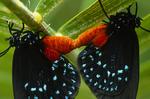 Atala butterflies mating