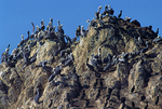 Brown pelicans and double crested cormorants on Bird Rock.