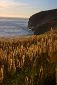 Pompas grass, Big Sur, California