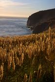 Pompas grass, Big Sur, California