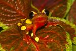 Clown tree frog