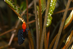 Atala butterfly depositing egss on coontie, (1 of 7).