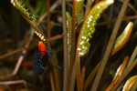 Atala butterfly depositing egss on coontie (2 of 7).