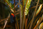 Atala butterfly depositing egss on coontie,(3 of 7).
