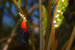 Atala butterfly depositing egss on coontie, (4 of 7).