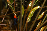 Atala butterfly depositing egss on coontie, (5 of 7).